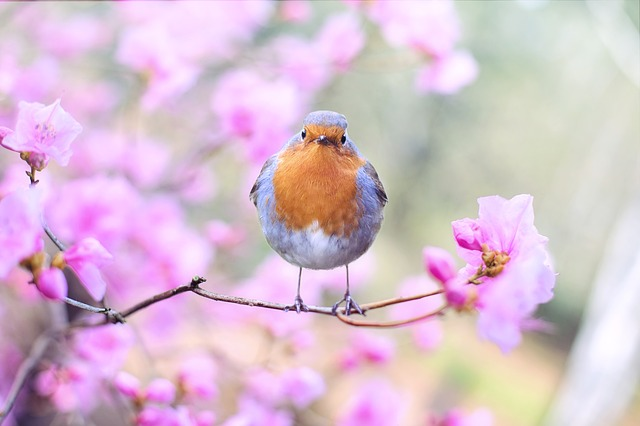 A Robin sitting on a branch in the spring